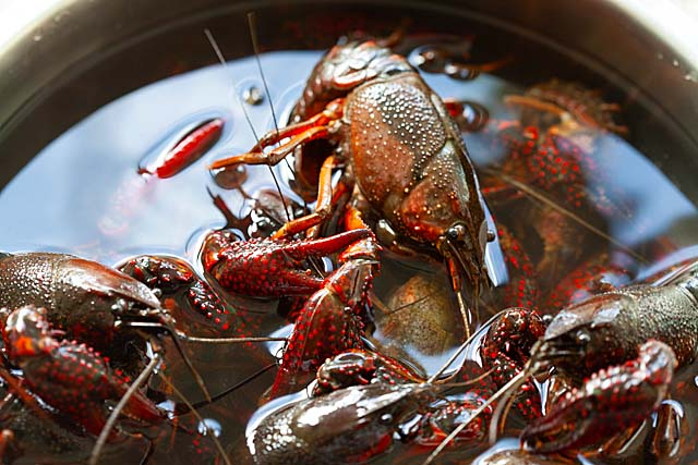 Live crawfish (crayfish or crawdad) in a container.